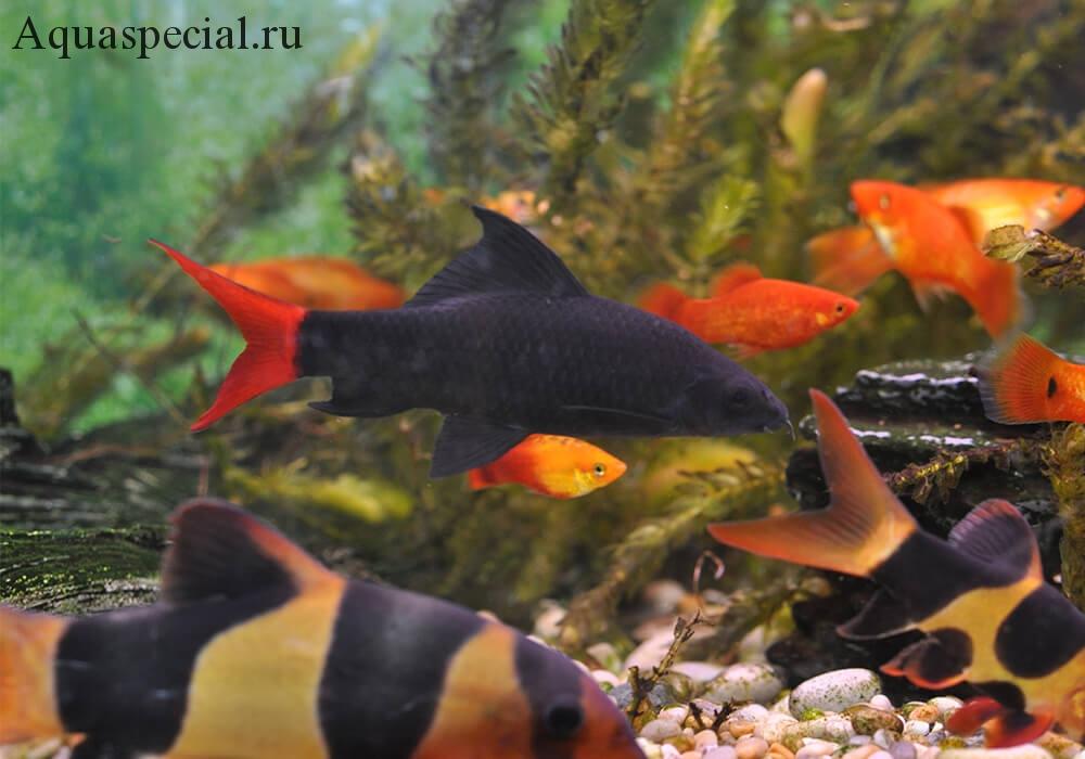Совместимость лабео в аквариуме