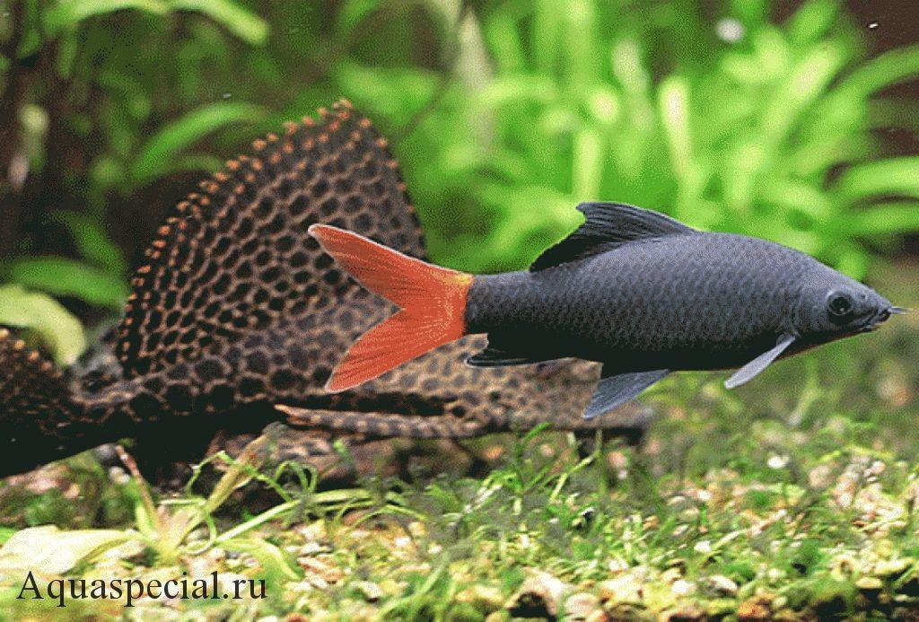 Условия содержания аквариумных рыбок. Фото птеригоплихт