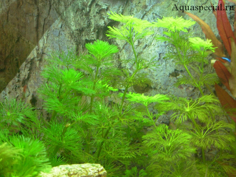 Кабомба кустистая водная обыкновенная
