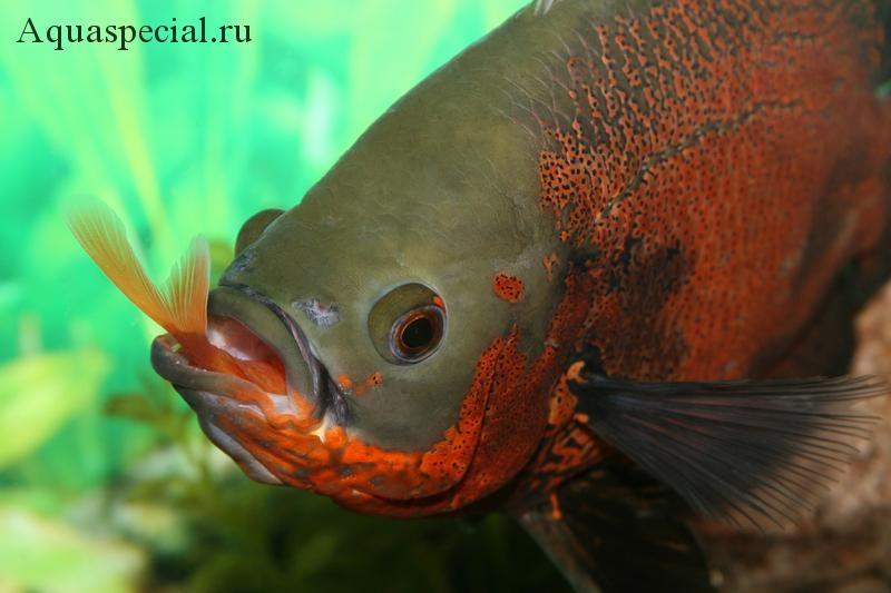 Совместимость цихлид. С кем уживаются агрессивные рыбы