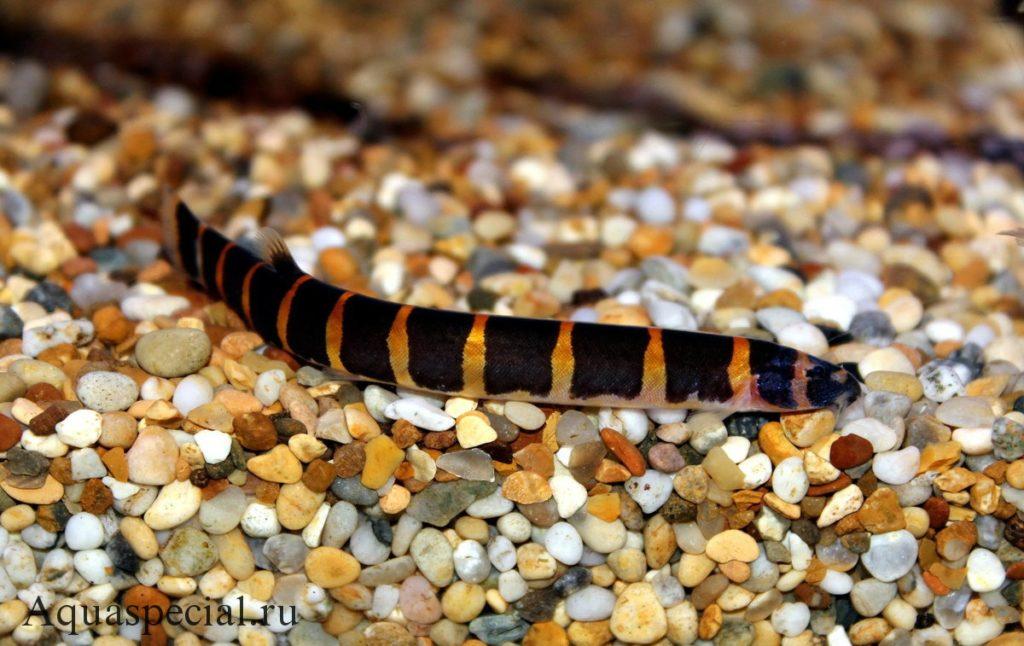 Акантофтальмус содержание рыбы змеи в аквариуме, разведение, фото
