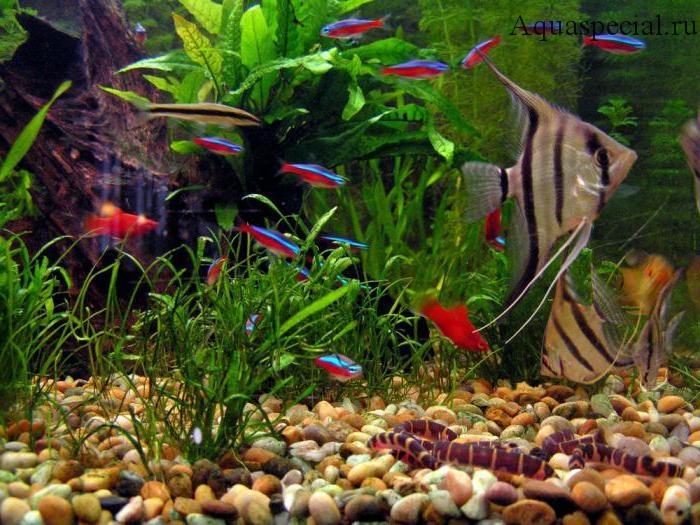 Совместимость акантофтальмуса в аквариуме с другими рыбами