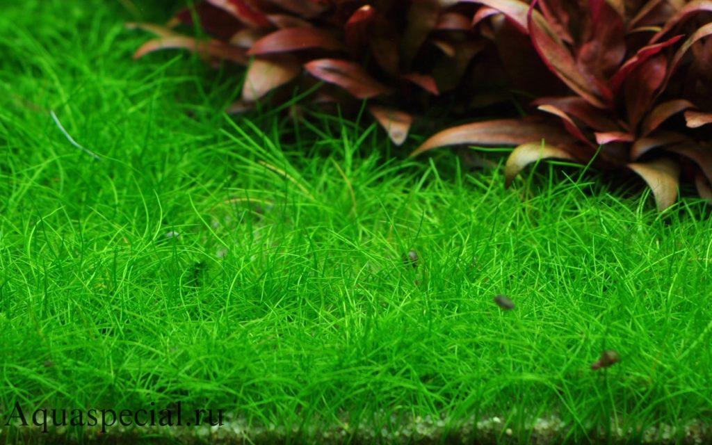 Элеохарис мини или ситняг мини почвопокровное аквариумное растение