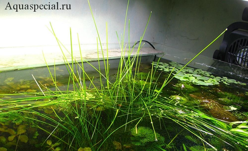 Элеохарис или ситняг болотный