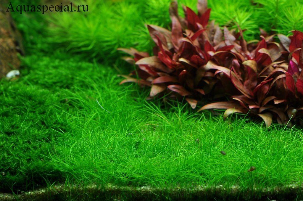 Ситняг крошечный фото. Почвопокровные аквариумные растения