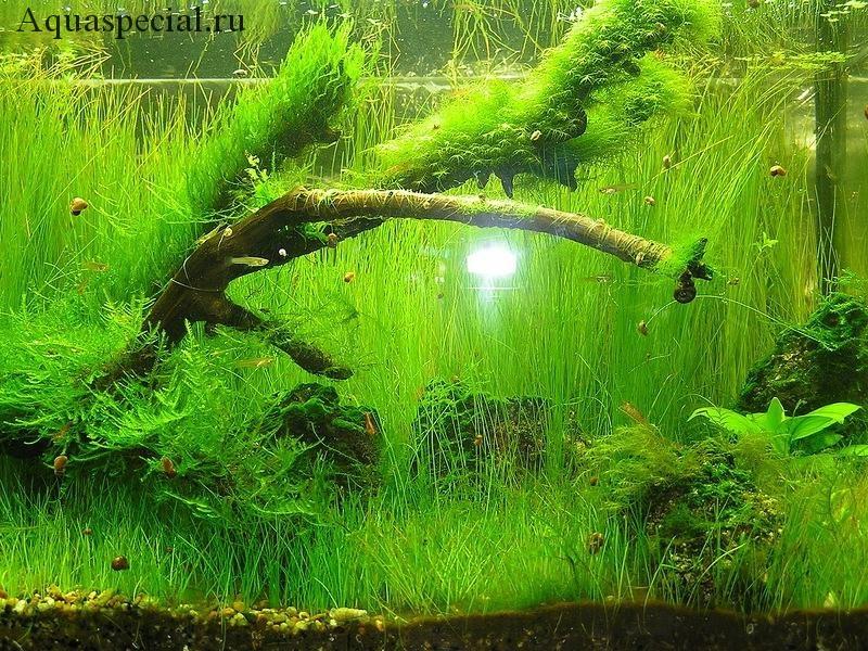 Аквариумные санитары улитки теодоскусы чистят ситняг от водорослей