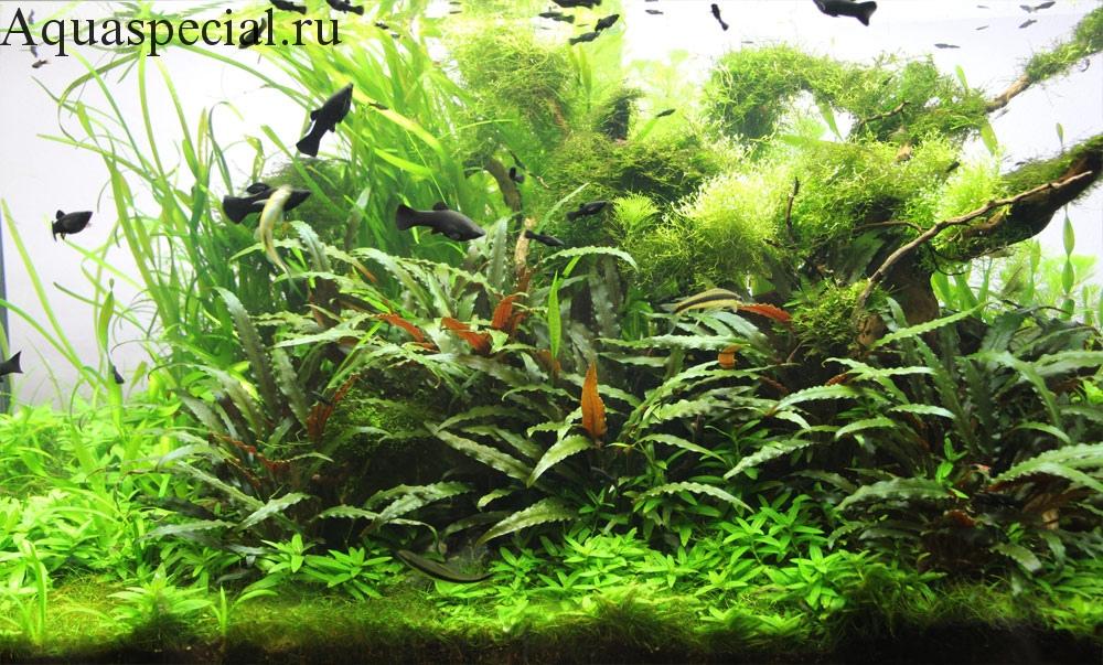 Оформление аквариума травника с корягой. Рыбки моллинезии фото в аквариуме