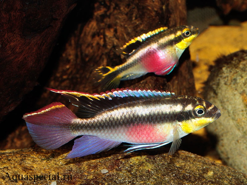 Пельвикахромис пульхер или цихлида попугай содержание в аквариуме, разведение, фото