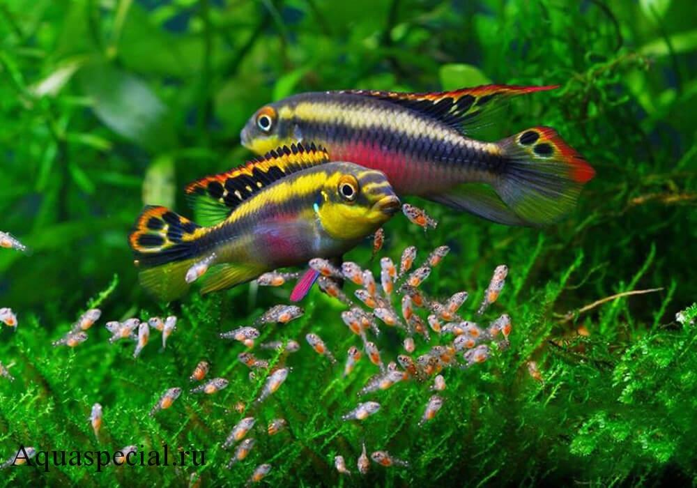 Пельвикахромисы самка и самец отличия фото