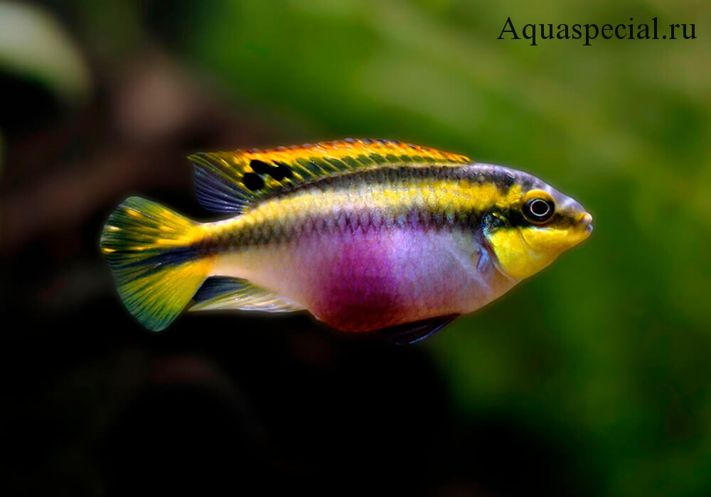 Пельвикахромис пульхер или цихлида попугайчик обыкновенный фото в аквариуме