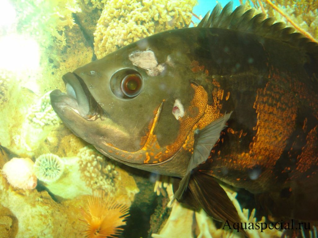 Гексамитоз или дырочная болезнь причины, лечение рыб в аквариуме