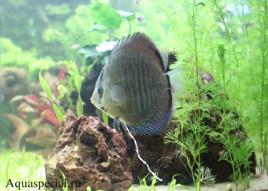 Проявление гексамитоза у рыб, симптомы болезни