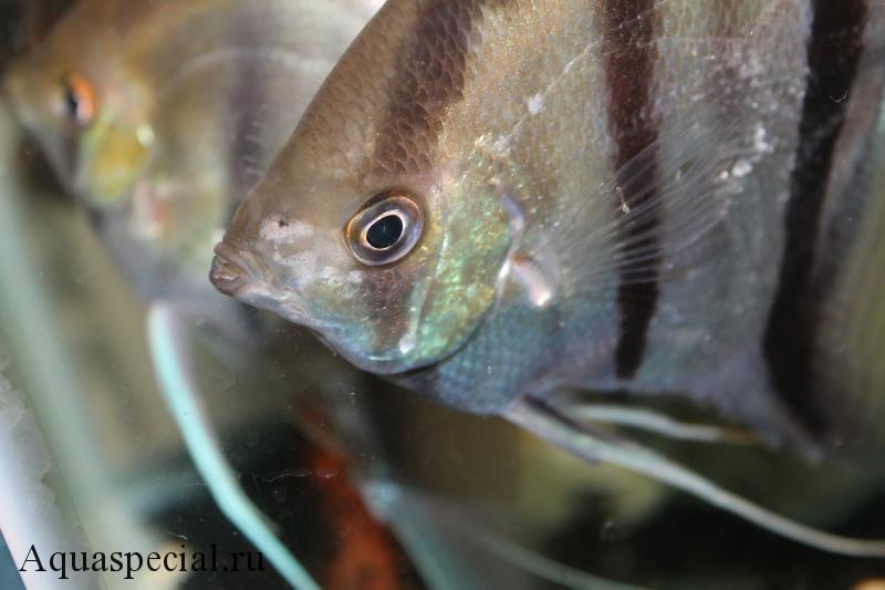 Гексамитоз у скалярий фото, симптомы болезни, лечение рыбок в общем аквариуме