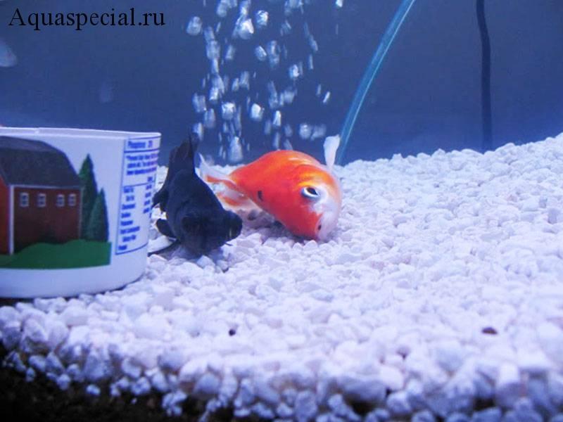 Бранхиомикоз или жаберная гниль, первые симптомы болезни рыбы, причины