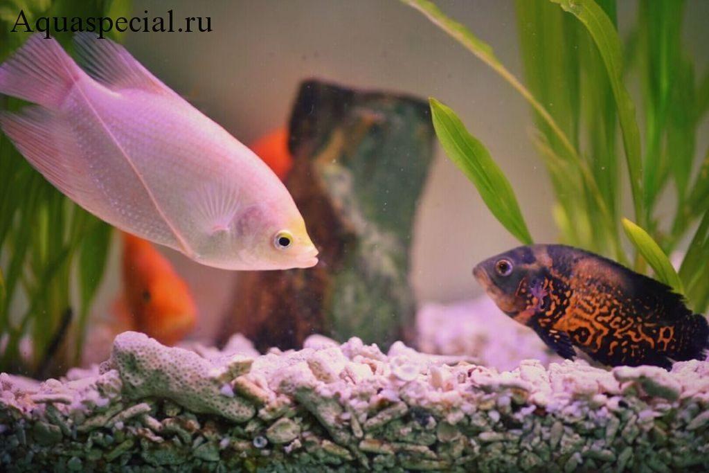 Цихлиды в аквариуме. Профилактика болезней аквариумных рыб