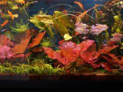 Нимфея или кувшинка в аквариуме, содержание, описание, разведение, красивое фото
