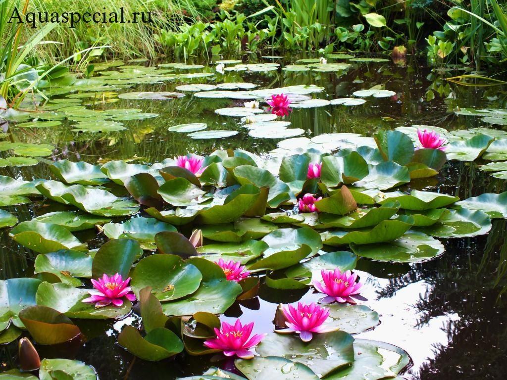 Нимфея или кувшинка цветет на пруду красивое фото