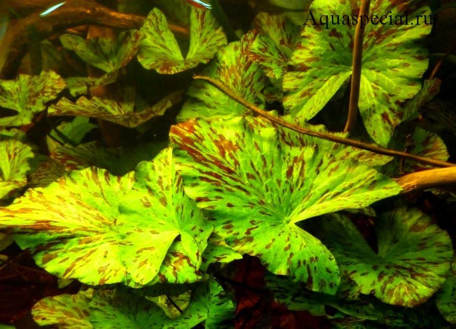 Нимфея или кувшинка тигровая в аквариуме, фото с описанием содержания