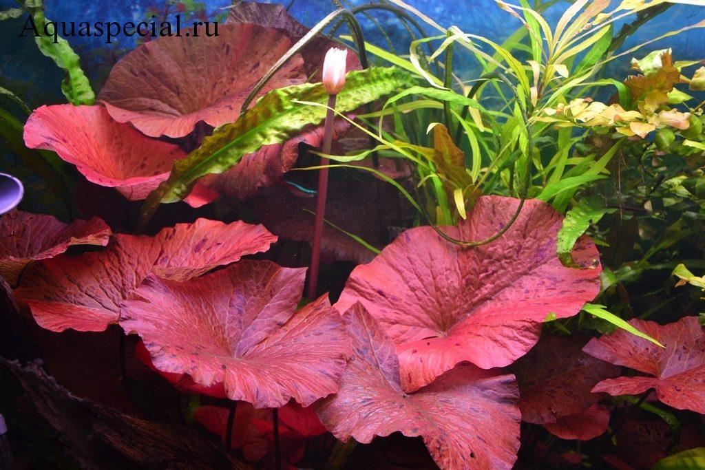 Красная нимфея в аквариуме с описанием, содержанием и фото