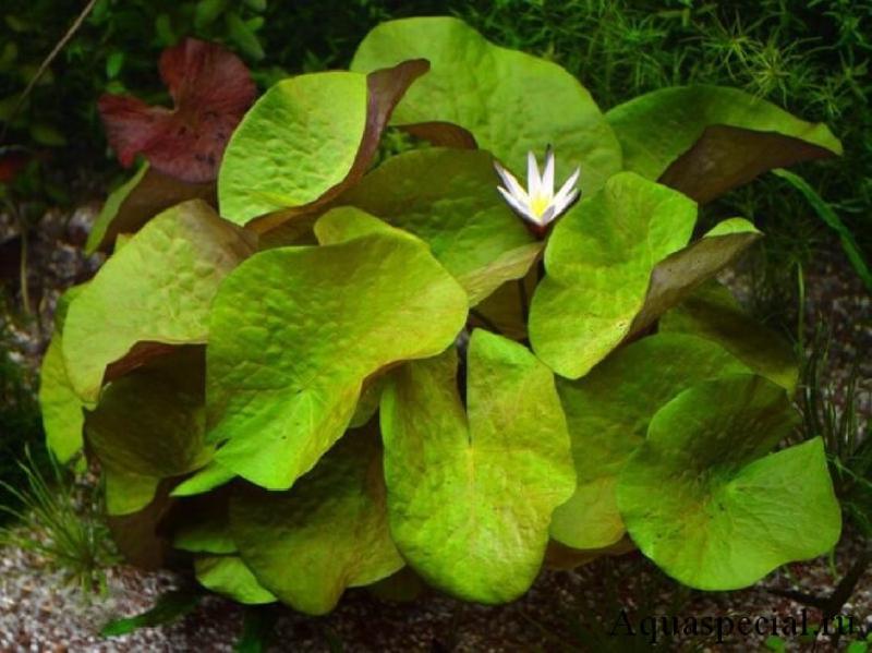 Нимфея рудге фото, описание, содержание в аквариуме растения