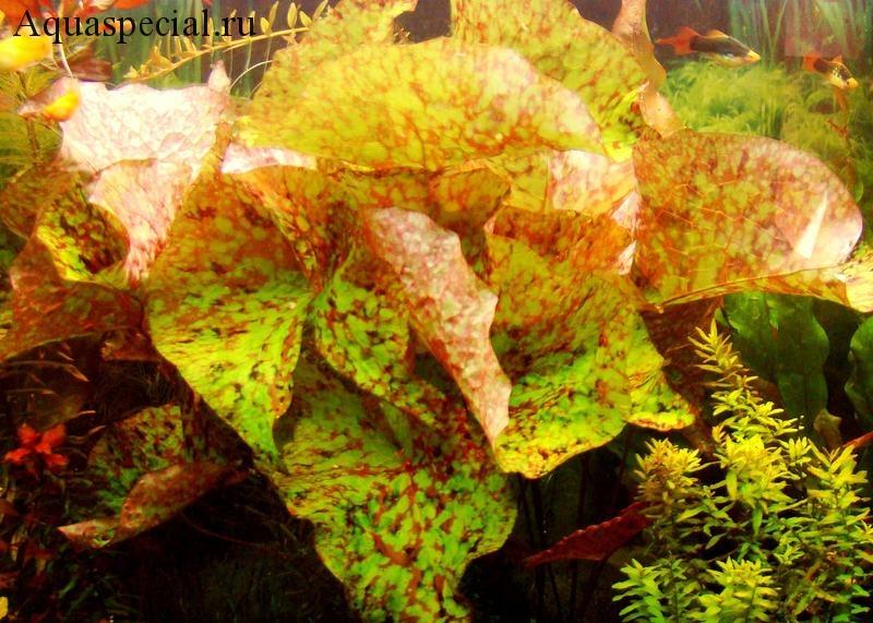 Нимфея или кувшинка в аквариуме фото