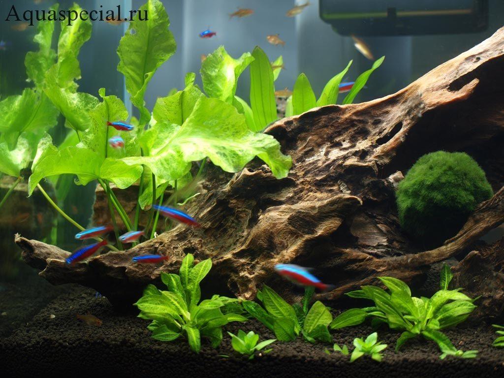Кувшинка (нимфея) зеленая фото в аквариуме