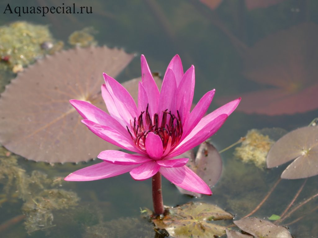 Кувшинка (нимфея) рубра описание аквариумного растения с фото