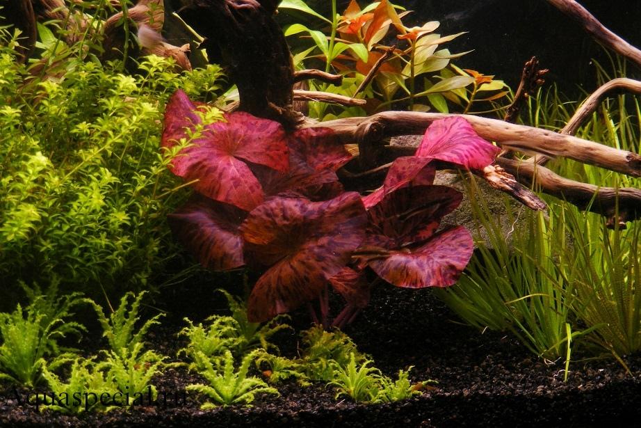 Нимфея или кувшинка тигровая красная (ред) в аквариуме, содержание