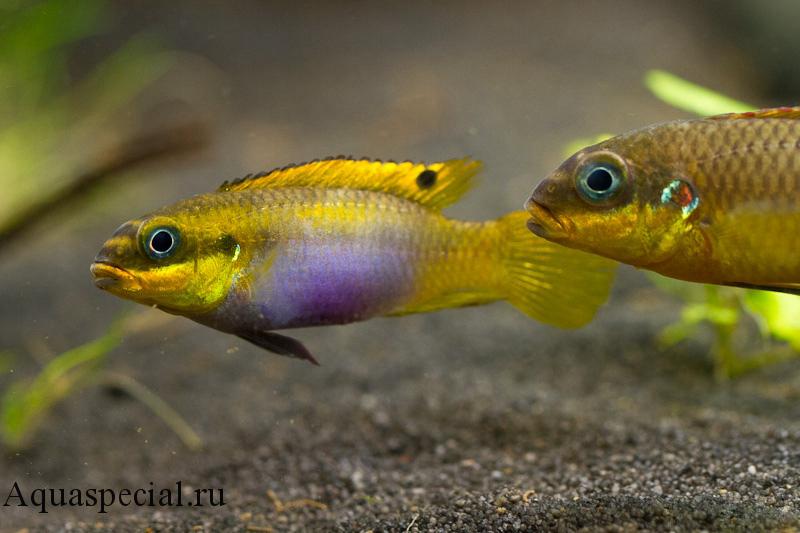 Пельвикахромис пульхер или цихлида попугайчик златоглавый