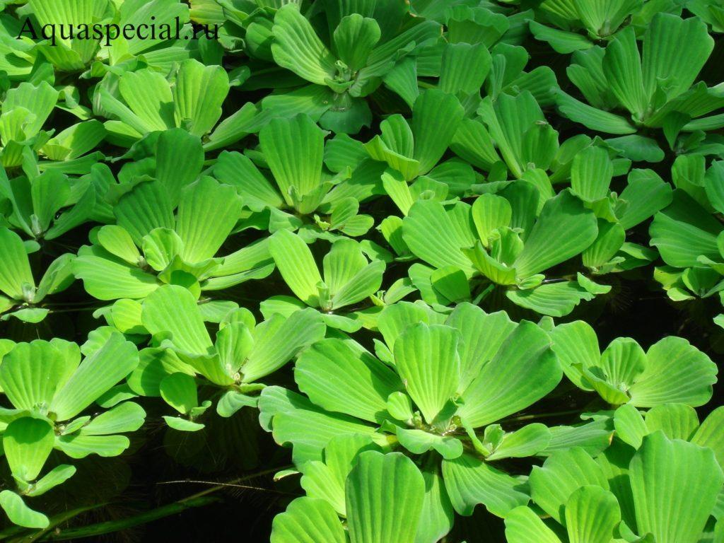 Пистия или водный салат красивое фото с описанием, содержание