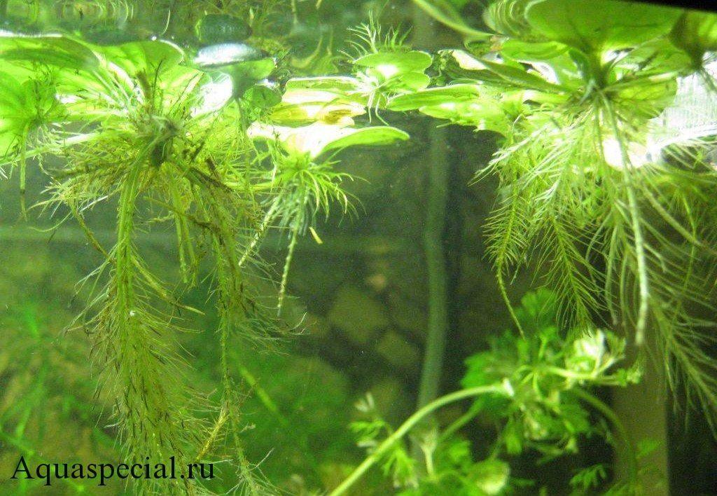 Пистия (водный салат) содержание в аквариуме. корни водяного салата фото