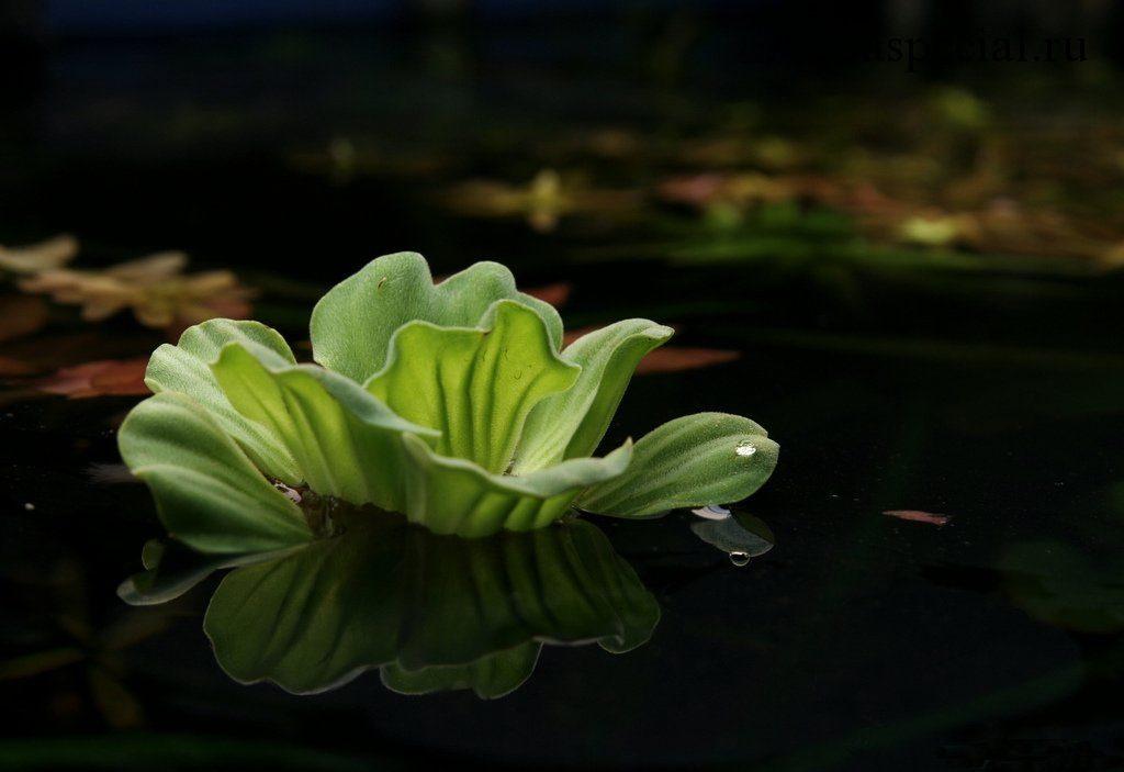 Красивое водо плавающего аквариумного растения (водяной салат)