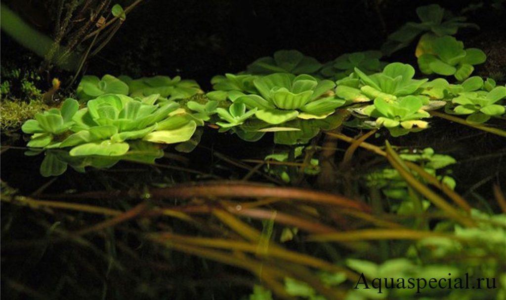 Красивое фото плавающего аквариумного растения. неприхотливые аквариумные растения для начинающего аквариумиста
