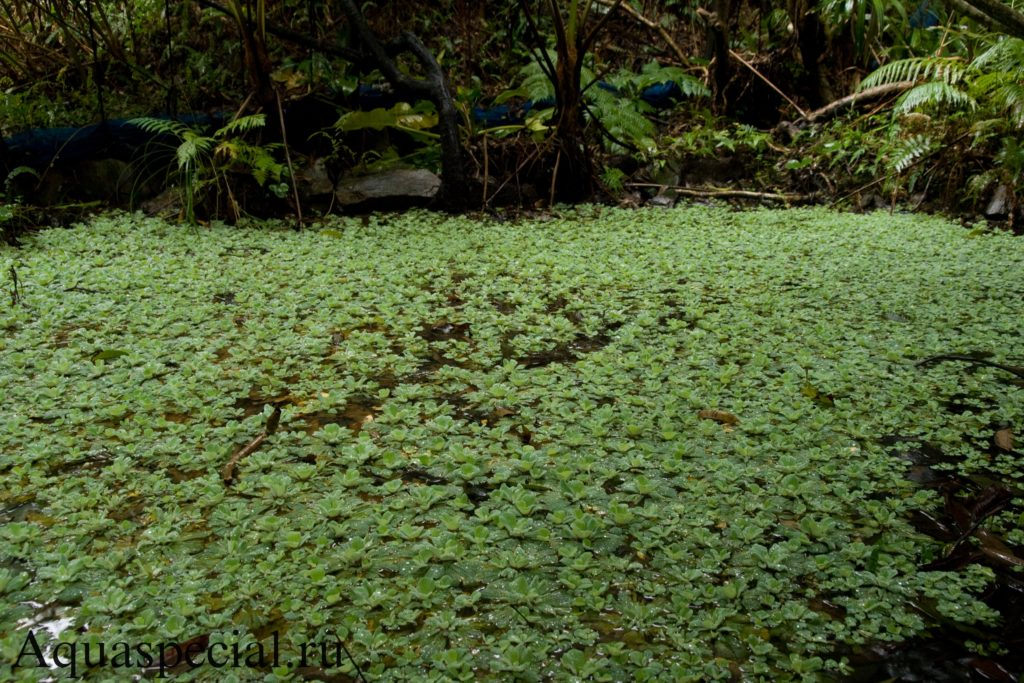 Фото пистии или водяного салата в дикой природе на пруду