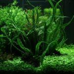 Кринум аквариумный содержание в аквариуме, описание с фото, размножение, виды