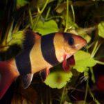 Боция клоун описание с фото в аквариуме, содержание и уход, разведение, болезни