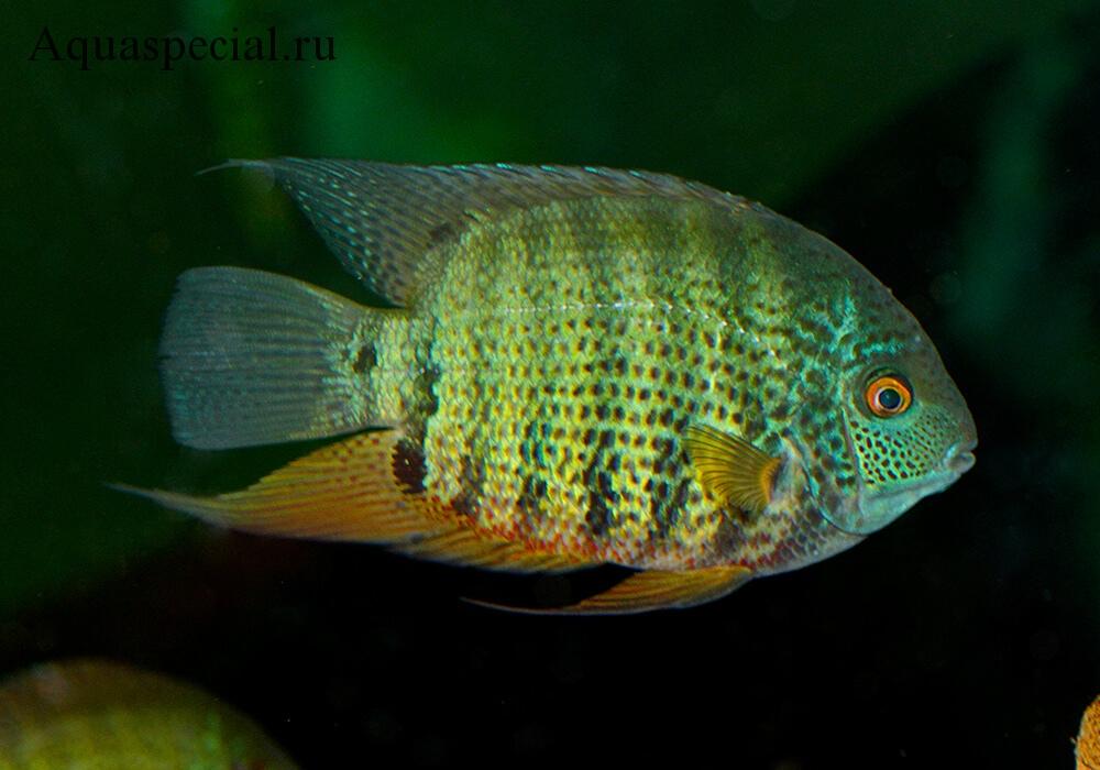 Цихлазома северум зеленый фото в аквариуме