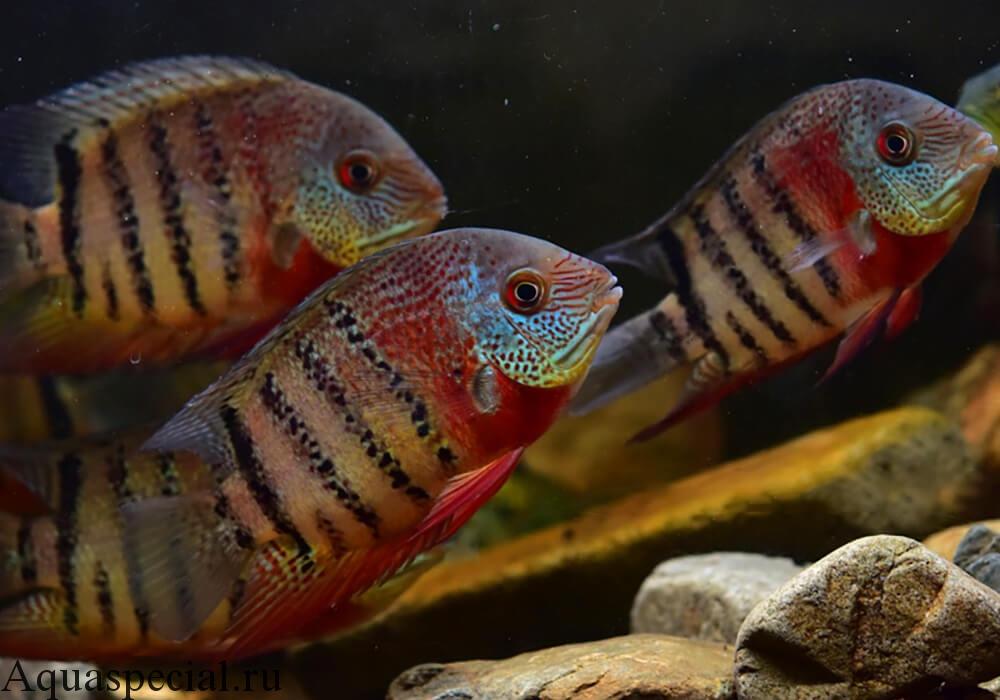Цихлазома северум красный тигровый содержание в аквариуме