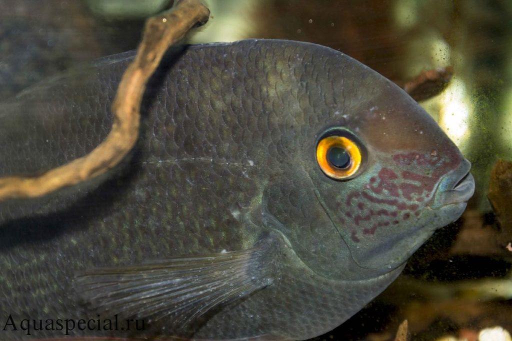 Манка или ихтиофтириоз у северума лечение. Болезни аквариумных рыб