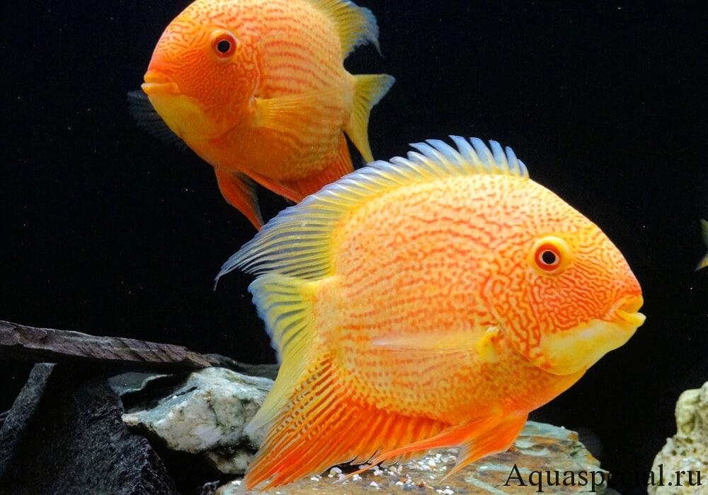 Содержание цихлазом в аквариуме, условия, размножение