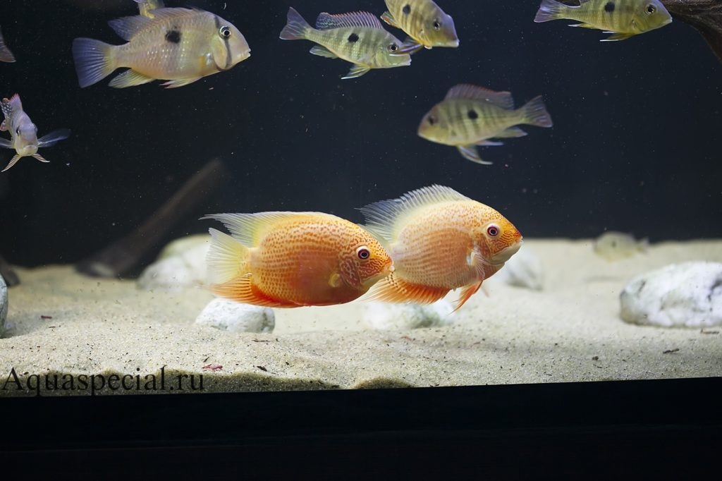 Совместимость цихлазомы в аквариуме