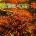 Ротала в аквариуме описание с фото, содержание, виды