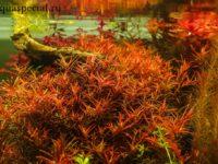 Ротала: содержание в аквариуме, популярные виды
