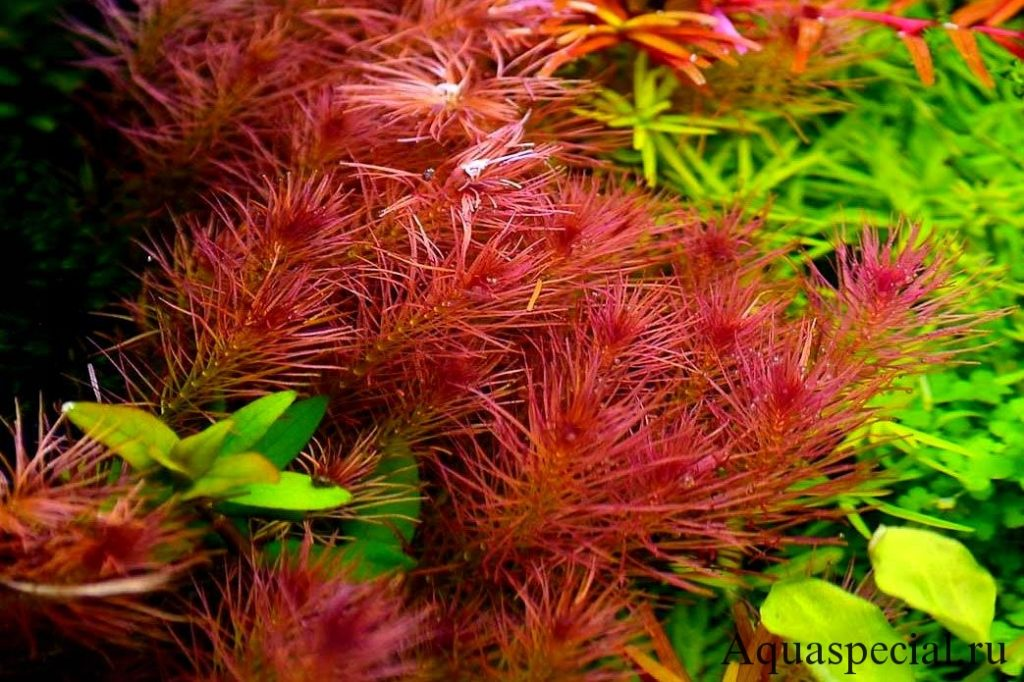 Содержание аквариумных растений. Виды аквариумных растений с названиями и фото