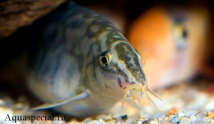 Беременная самка боции. Размножение и нерест аквариумных рыбок