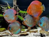 Дискус: содержание в аквариуме, виды
