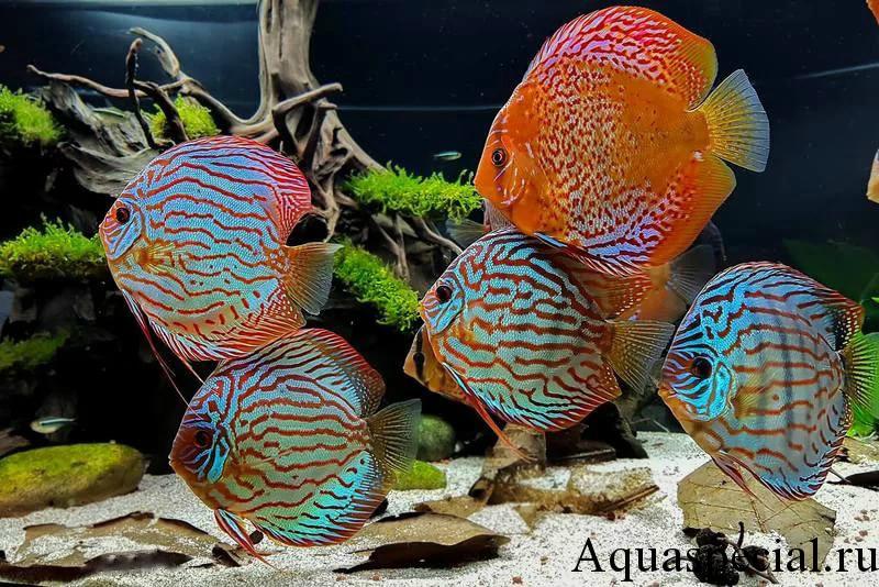 Дискус в аквариуме. Описание, содержание, фото, виды