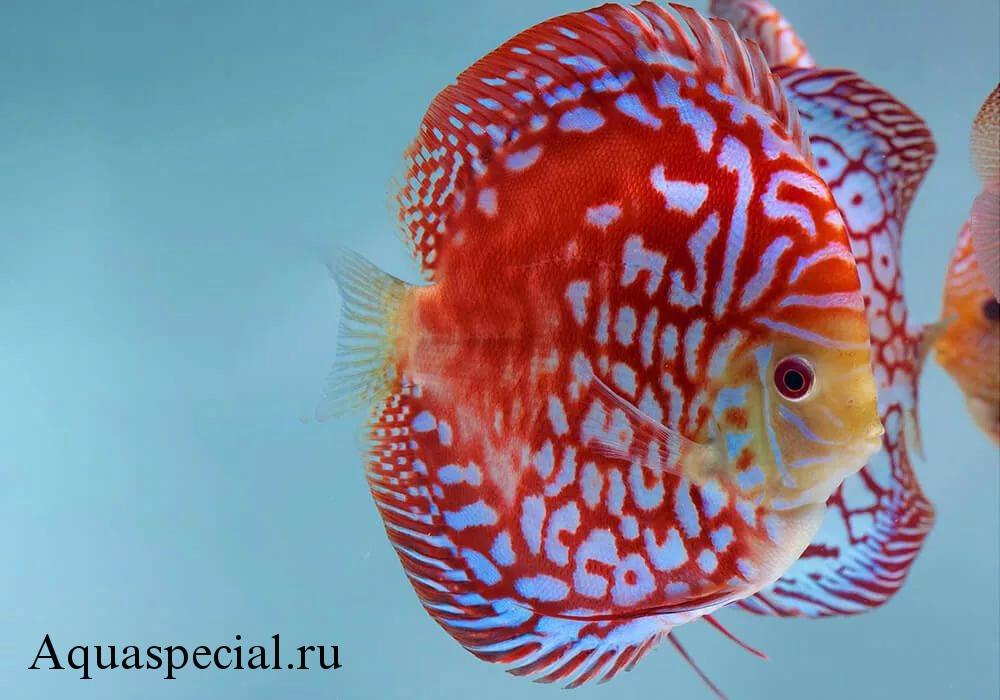 Дискус красная карта. Описание аквариумной рыбки.