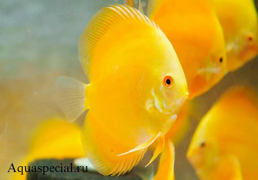 Дискус золотой описание видов