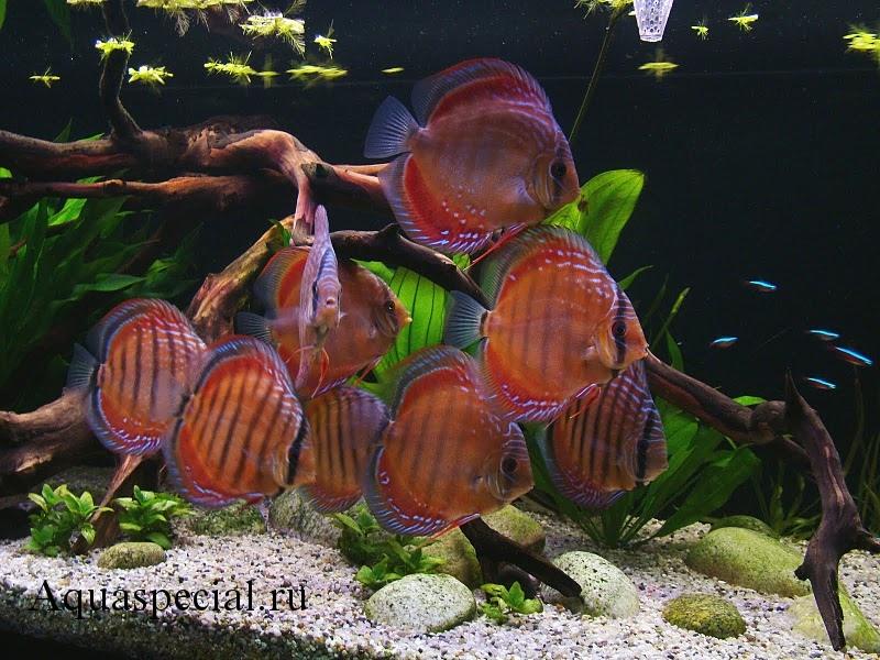 Аквариум с дискусами. Декоративный аквариум. Красивый аквариум с рыбками